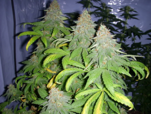 Big Buddha Cheese Grow
