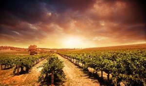Marijuana Infused Wine Produced at California Vineyards