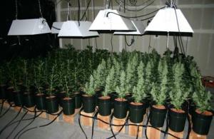 Lowryder Marijuana