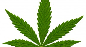 What is Indica Marijuana