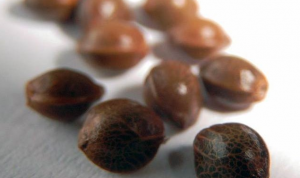What Is The Best Way To Germinate Cannabis Seeds?