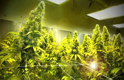 an analysis of the most profitable plant in the world marijuana The most recent drug approval, syndros, boosts appetite for cancer and aids-related patients suffering from weight loss shares closed at $921 on friday, in a 52-week range of $870 to $2975.