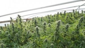 12,000 Marijuana Plants Seized From Indian Tribe