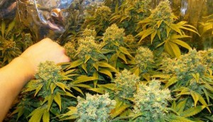 How Much Marijuana Does It Take To Overdose?