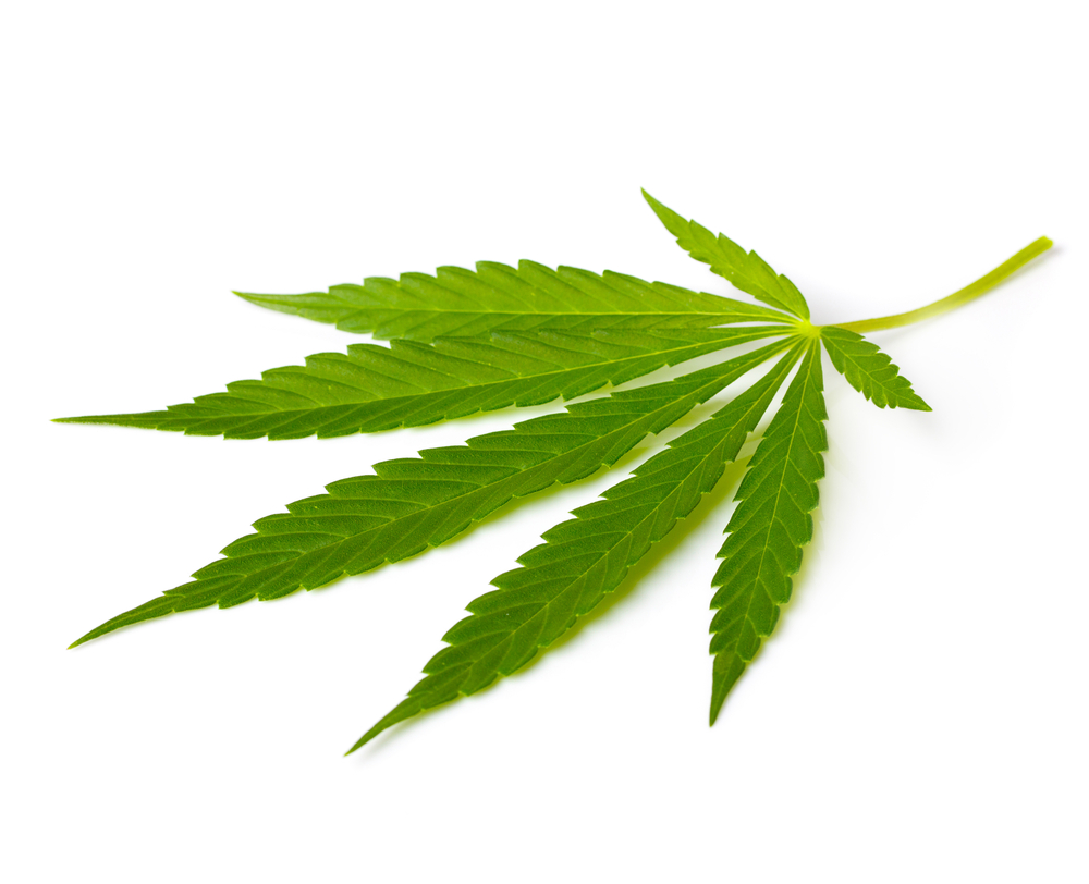 a report on marijuana or cannabis sativa According to a 1976 study published by the international association of plant taxonomy concluded both hemp varieties and marijuana varieties are of the same genus, cannabis, and the same species, cannabis sativa.