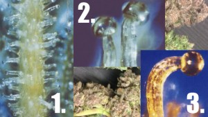 3 Things Everyone Should Know About Trichomes
